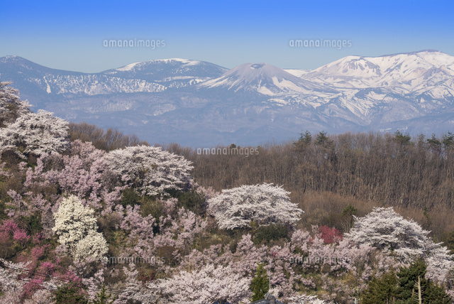 花見山より 吾妻山