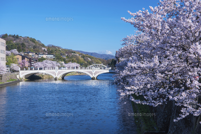 桜の金沢浅野川