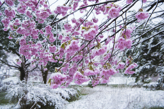 瓢湖の雪と桜