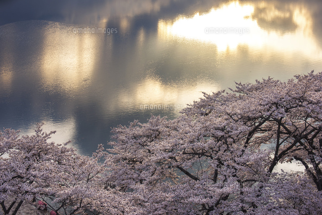 釜房湖の桜