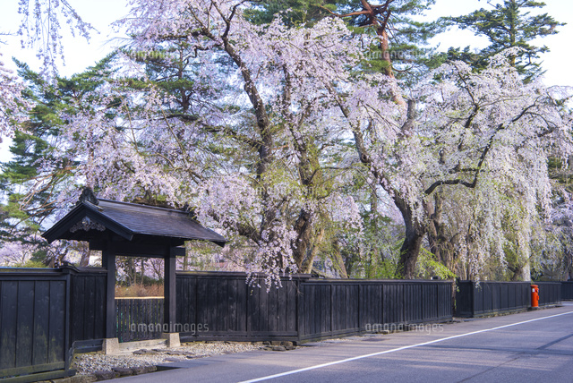 角館武家屋敷の桜
