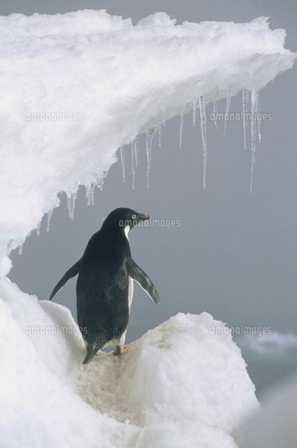 ロス海のアデリーペンギンの後姿...