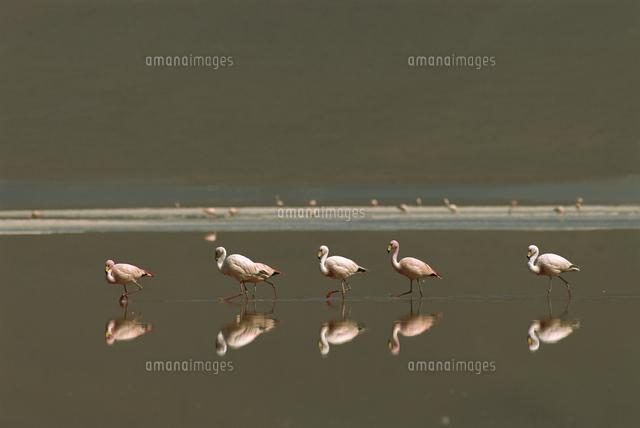水の中を歩くコバシフラミンゴ[0...