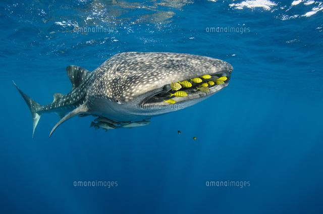 ジンベエザメとコガネシマアジの群れ01543047188の写真素材イラスト