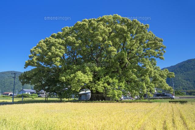 加茂の大楠01597029365の写真素材イラスト素材アマナイメージズ