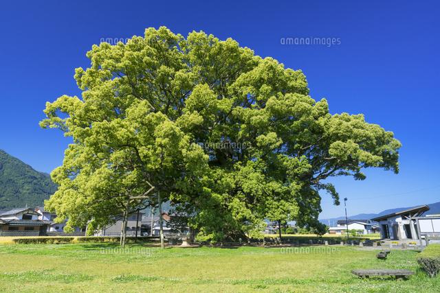 加茂の大楠01597029507の写真素材イラスト素材アマナイメージズ