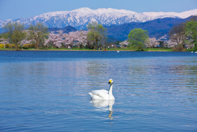 桜咲く瓢湖と白鳥