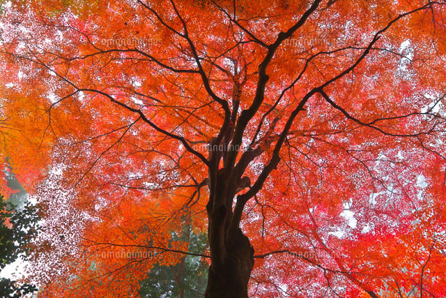 紅葉の木