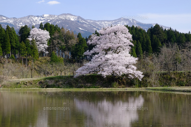 向野の桜