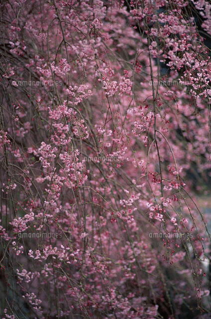 垂桜