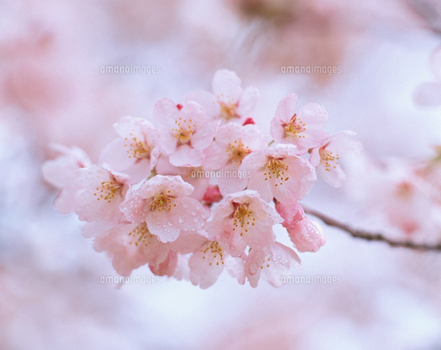 桜
