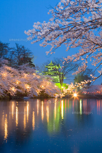高田公園の夜桜