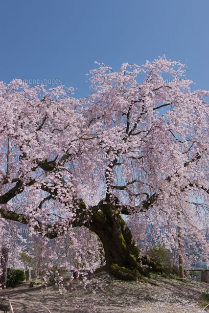 麻績の里の舞台桜