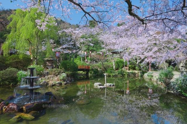 桜の打吹公園と羽衣池[018010124...