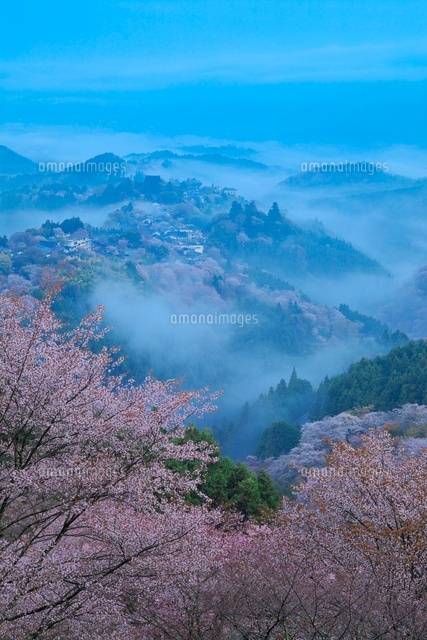 吉野山の桜と雲海