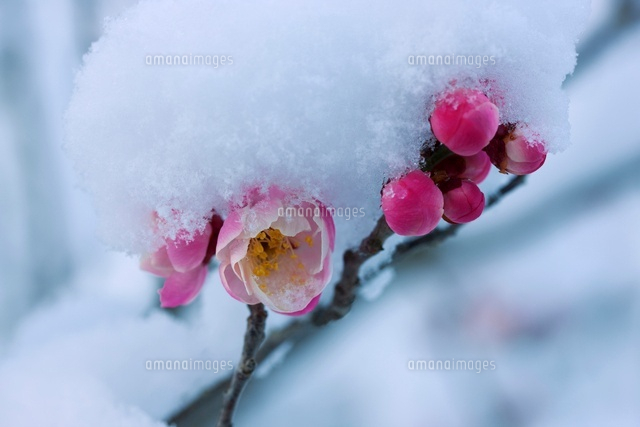 紅梅と雪