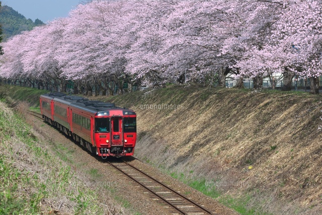 桜と肥薩線
