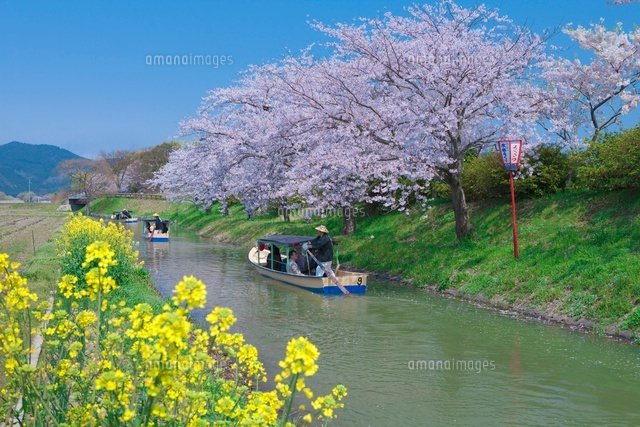 桜の水郷の舟めぐり