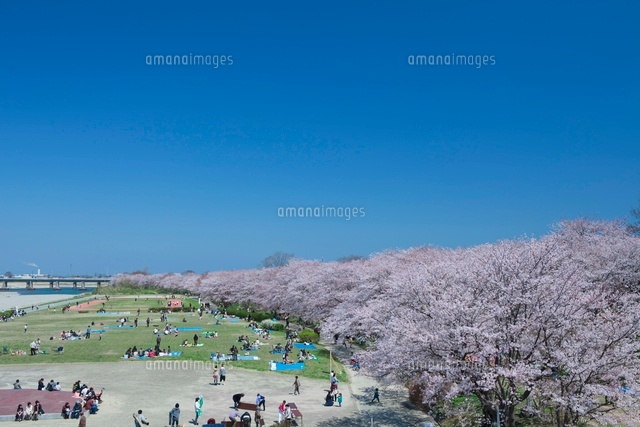 宮川堤の桜