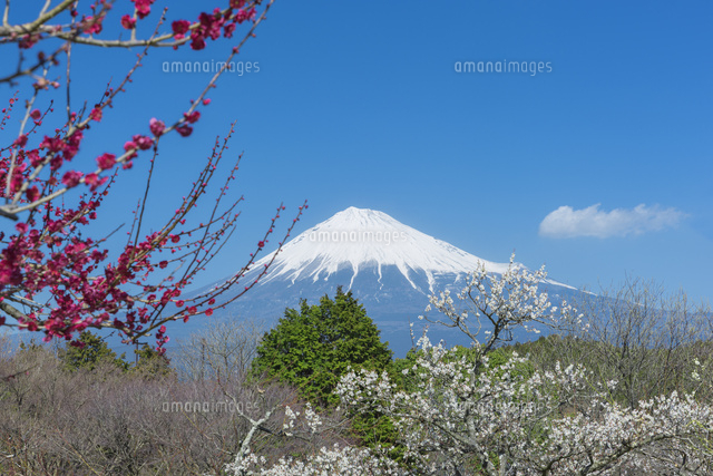 梅と富士山