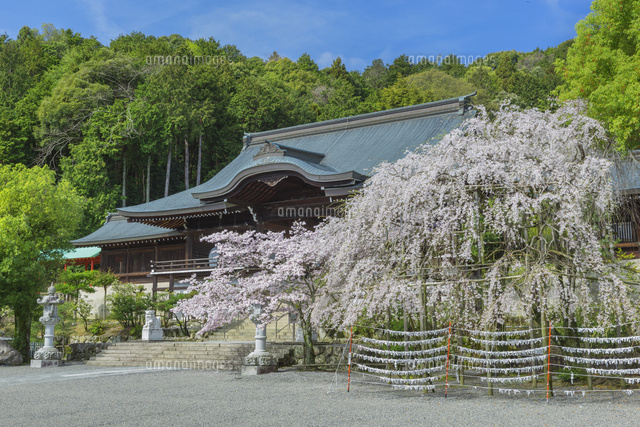 近江神宮と桜