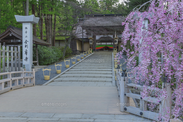 桜の金剛峯寺参道