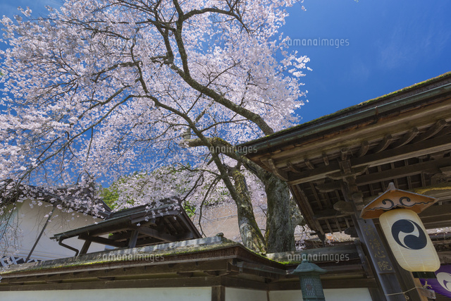 清浄心院の傘桜