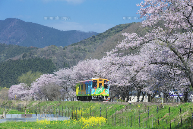 桜並木と電車