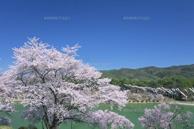 荒神山公園の桜