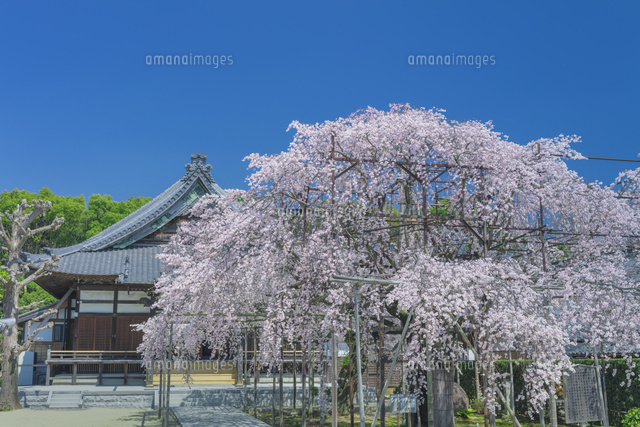 行福寺のしだれ桜