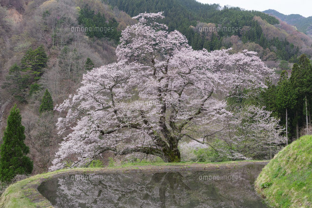 駒つなぎの桜