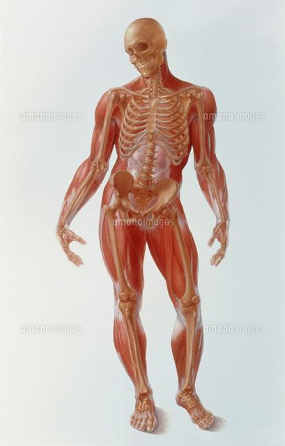 骸骨と筋肉組織図01808010065の写真素材イラスト素材アマナイメージズ