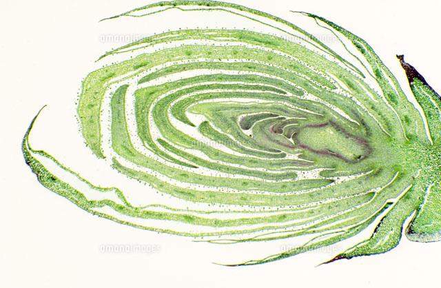 植物解剖学01808023403の写真素材イラスト素材アマナイメージズ