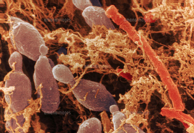 Kefir Microorganisms SEM