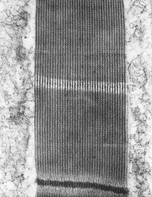 Flight Muscle,TEM