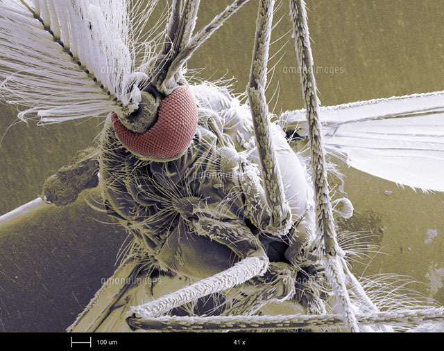 Male Mosquito