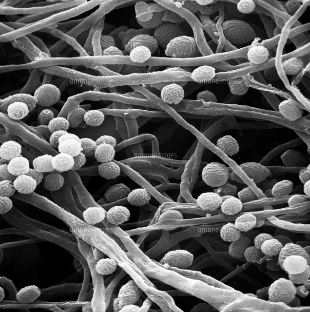 Candida