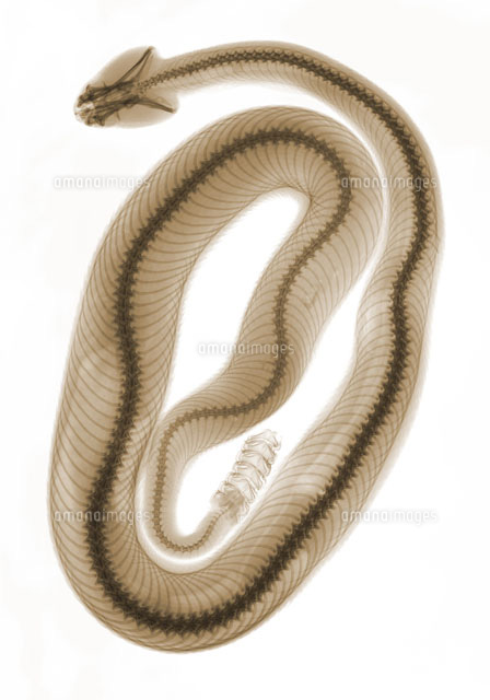 Southern Pacific Rattlesnake,X-Ray