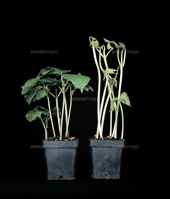 Bean plants grown with and without light