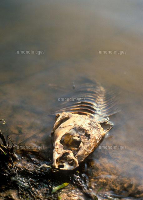 水質汚染で死んだ魚[01809016707...