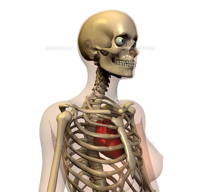 骸骨[01809018229]の写真素材・...