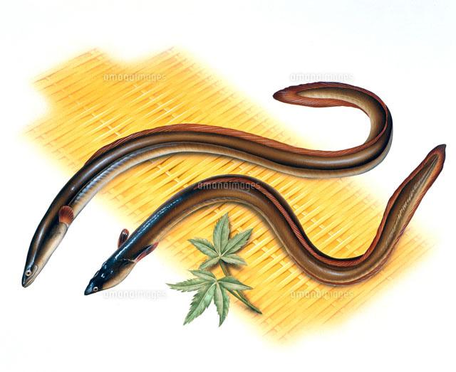 ざるの上の夏のもみじと二尾の鰻のイラスト02237006133の写真素材