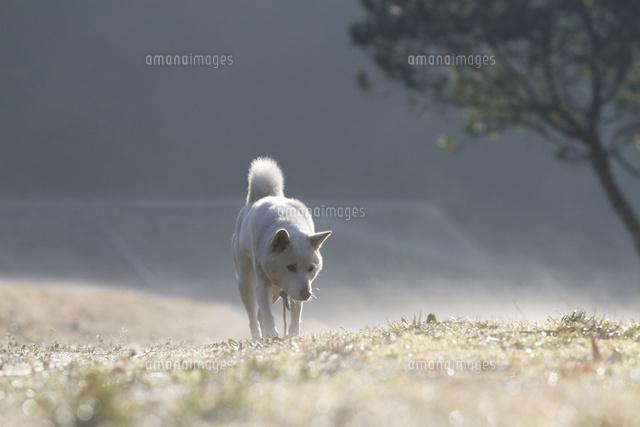 白い日本犬02283000339の写真素材イラスト素材アマナイメージズ