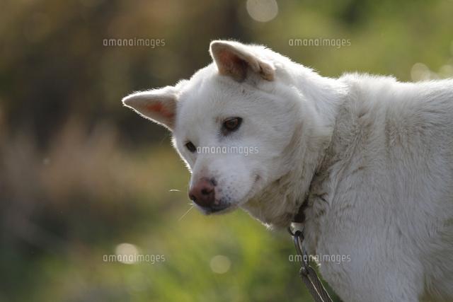 白い日本犬のポートレート02283000344の写真素材イラスト素材