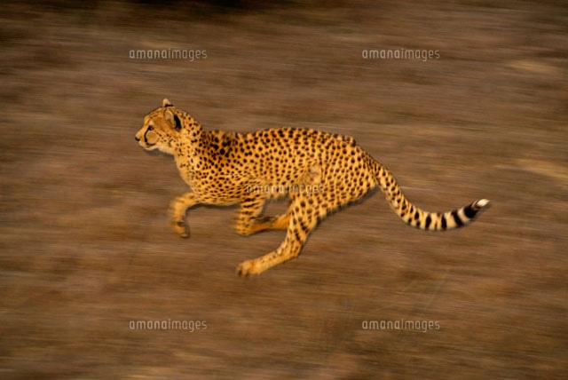 走るチーター02314002446の写真素材イラスト素材アマナイメージズ