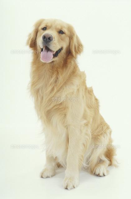 お座りする犬 ゴールデンレトリーバー02322002254の写真素材