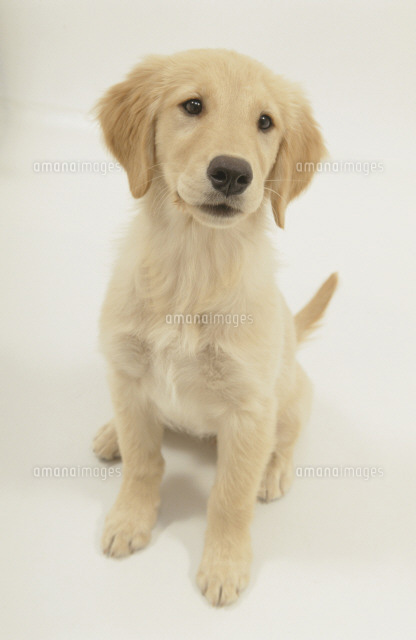 お座りする犬 ゴールデンレトリーバー02322002274の写真素材