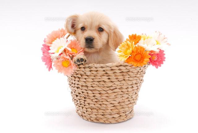 花かごと子犬ゴールデンレトリーバー02322002772の写真素材