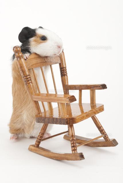 椅子に寄りかかるモルモット