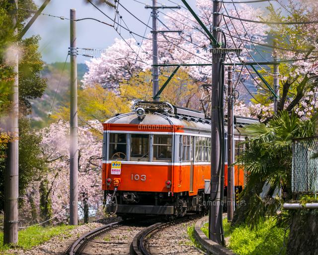桜と箱根登山鉄道02328002172の写真素材イラスト素材アマナイメージズ